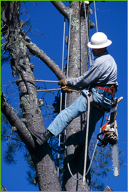 Man scaling tree