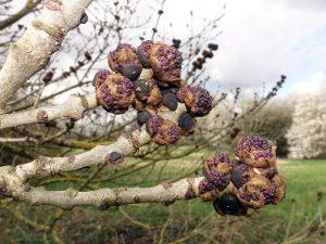 ash flower gall trees
