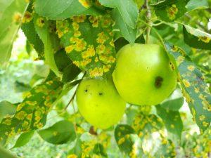tree cedar apple rust prevention
