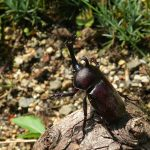 Japanese beetle tree removal