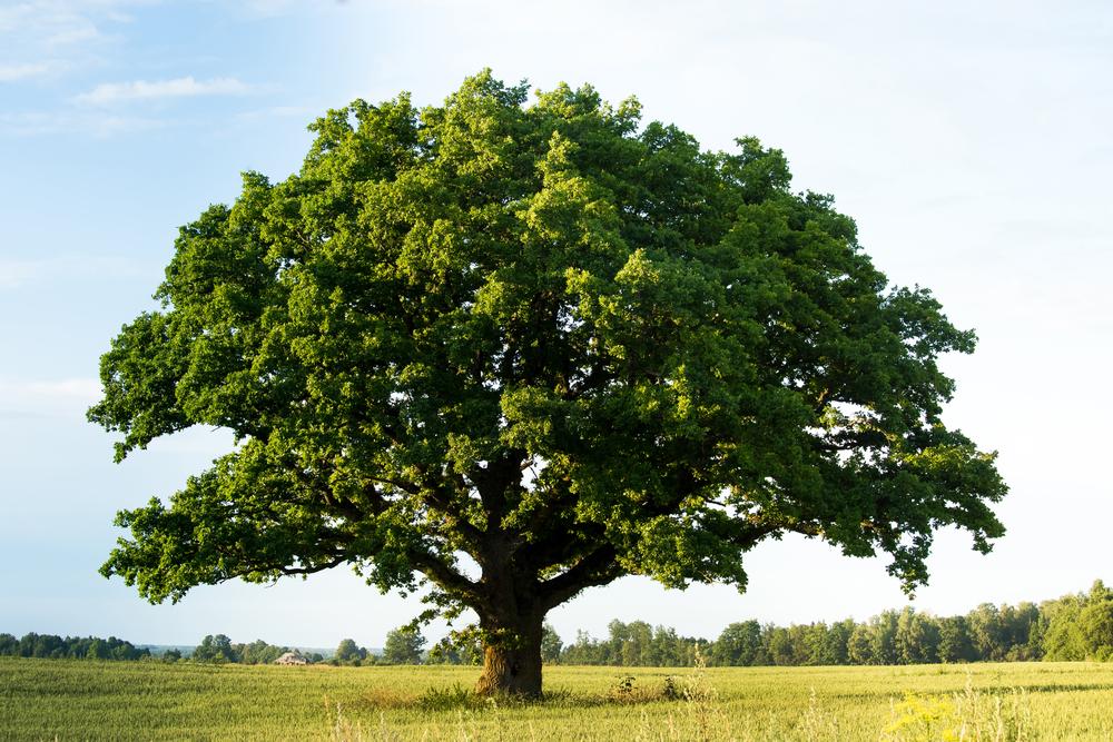 bur oak blight symptoms prevention