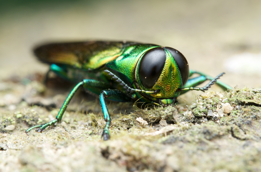 emerald ash borer signs prevention